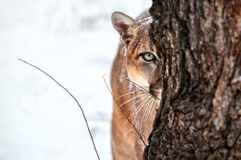 iStock-665082242 cougar
